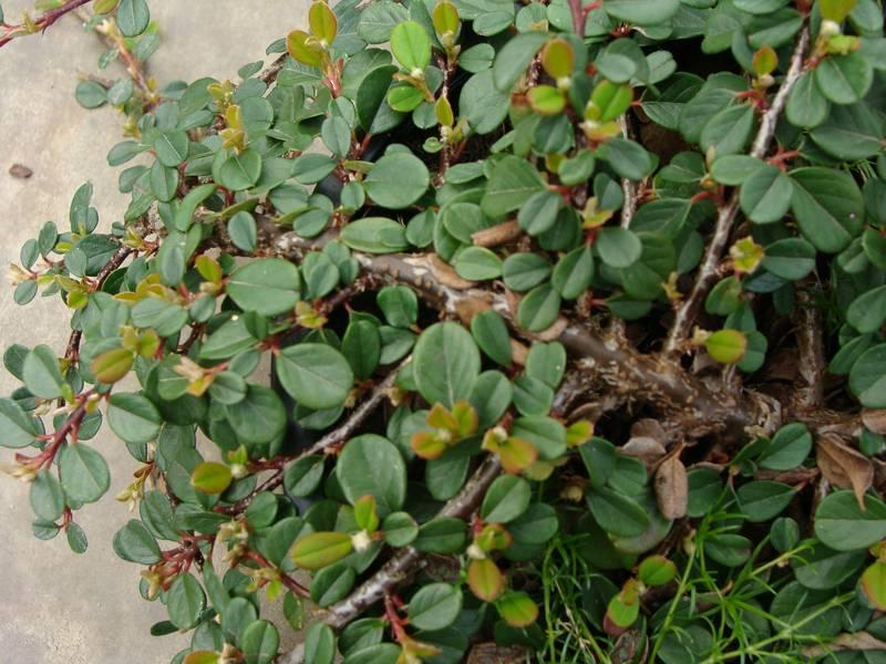 Cotoneaster dammeri green carpet cotoneaster rampant arbuste - Cotoneaster dammeri green carpet ...
