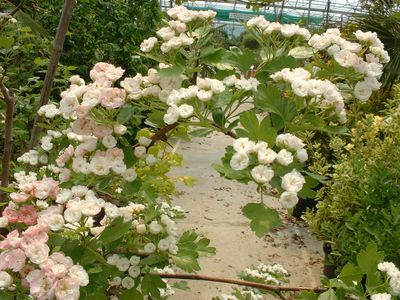 CRATAEGUS monogyna - lot de 25 plants