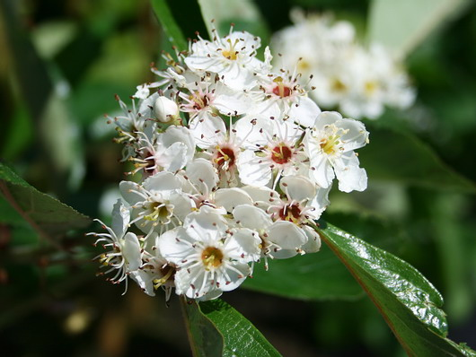 CRATAEGUS lavalleei carrierei