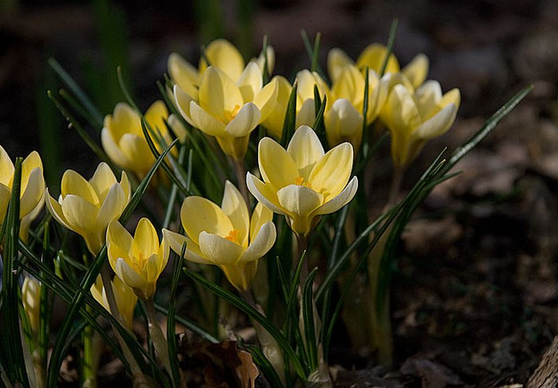Crocus - CROCUS Yellow mamouth - Bulbe