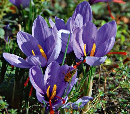 Crocus à safran - CROCUS sativus - lot de 40 - Bulbe