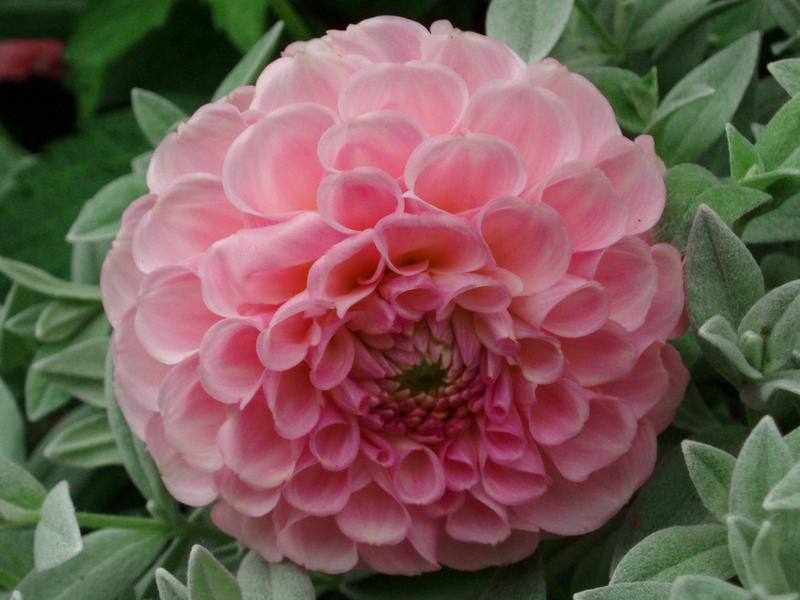 bulbes d'été : fleurissez généreusement vos massifs en période
