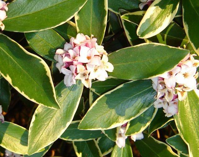Daphne odora variegata daphn e odorante arbuste for Arbuste daphne odora aureomarginata