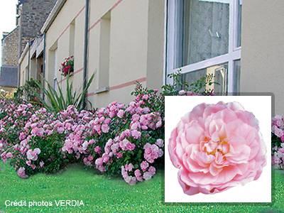 rosier d corosier 39 mareva 39 rosier couvre sol rosier