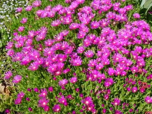 Delosperma cooperi pourpier vivace - Vivaces de rocaille avec photo ...