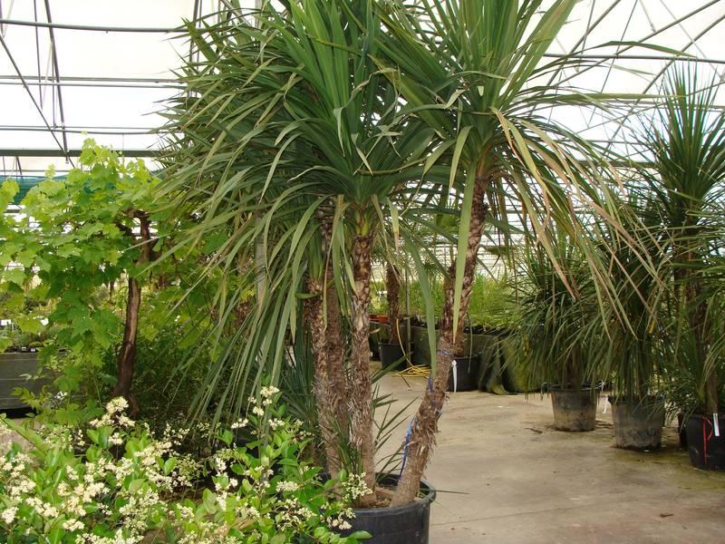 Dracaena indivisa cordyline petit arbre for Plante exotique exterieur rustique