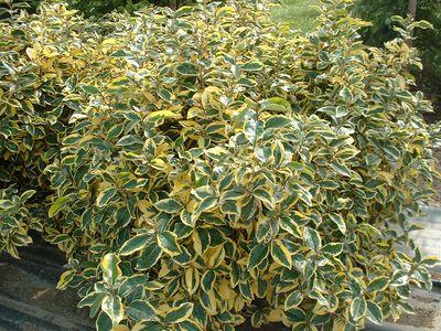 ELEAGNUS 'Gilt hedge'