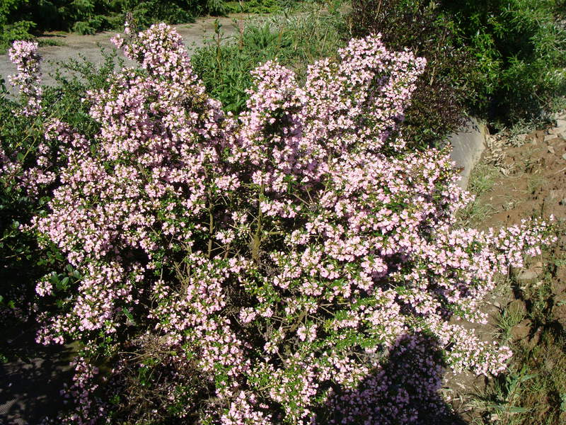 Escallonia - ESCALLONIA 'Apple blossom' - Arbuste