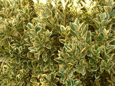 Euonymus japonica 39 bravo 39 fusain du japon arbuste - Fusain du japon panache ...