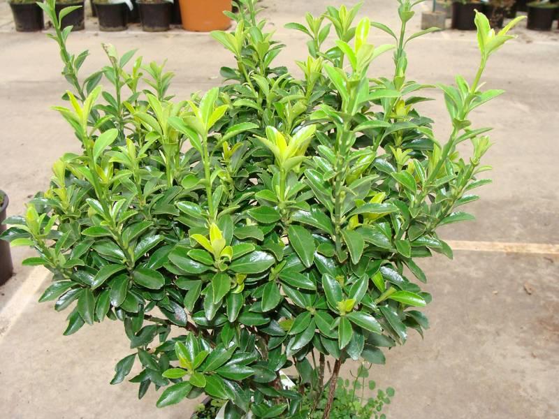 Euonymus Pulchellus Fusain Arbuste