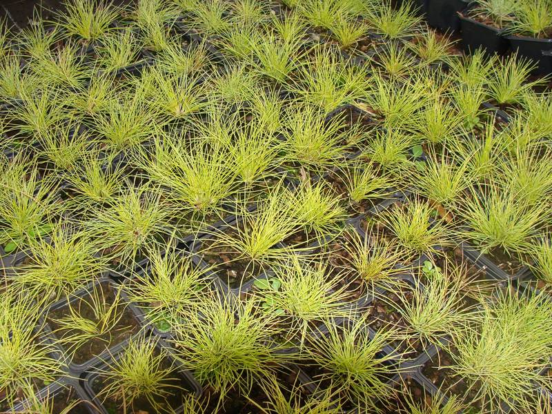 Festuca 'Golden Toupee' at