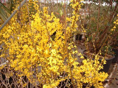 FORSYTHIA 'Lynwood gold'