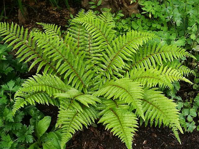 Polystichum polybepharum aspidie du japon vivace - Bulbes a floraison automnale ...