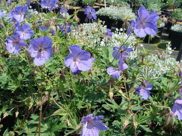 geranium jonhson blue g ranium bleu vivace. Black Bedroom Furniture Sets. Home Design Ideas