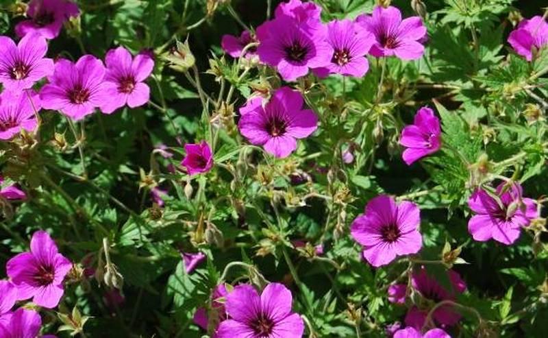 Achat du g ranium vivace acheter au meilleur prix de vente - Beau jardin rose and geranium ...