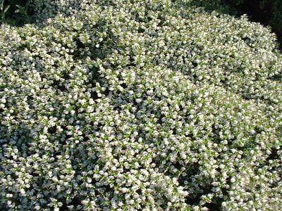 Hebe 39 wiri mist 39 v ronique arbuste - Arbuste a petites fleurs blanches ...