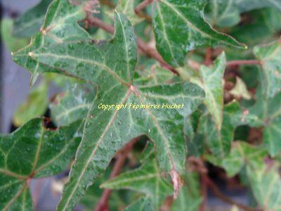 HEDERA 'Sagittifolia'