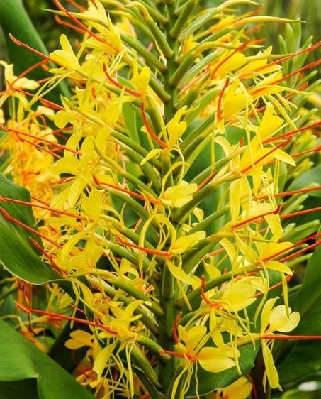 """Résultat de recherche d'images pour """"Hedychium coulur jaune"""""""
