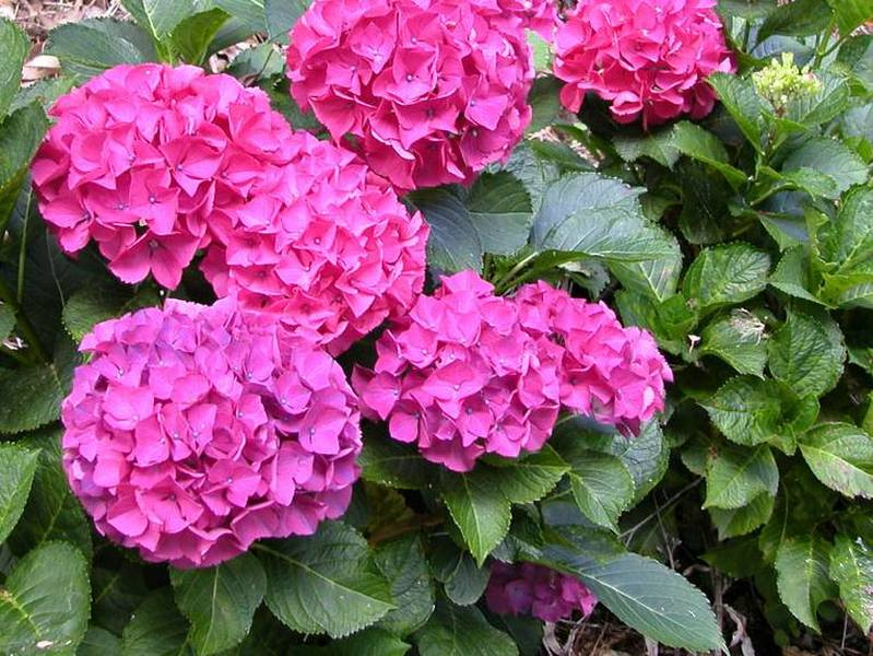 hydrangea macrophylla 39 hornly 39 hortensia arbuste. Black Bedroom Furniture Sets. Home Design Ideas