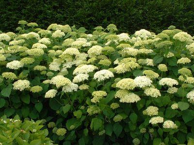 hydrangea arborescens 39 anabella 39 hortensia arbustif arbuste. Black Bedroom Furniture Sets. Home Design Ideas