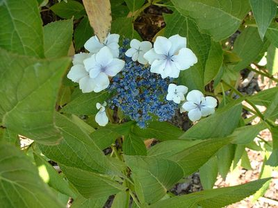 Hydrangea Blue Bird Hortensia A Fleur Plate Arbuste