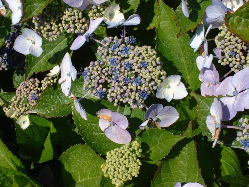 Hydrangea Blue Wave Hortensia A Fleur Plates Arbuste