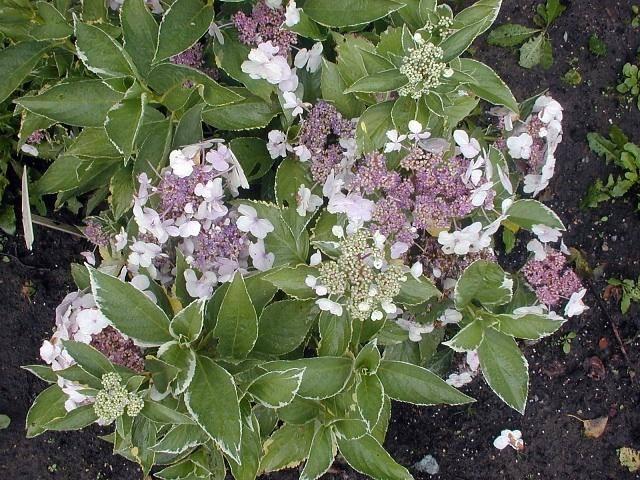 Hydrangea Tricolor Hortensia A Fleur Plate Arbuste