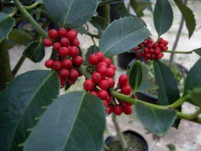 ILEX aquifolium 'Castaneifolia'