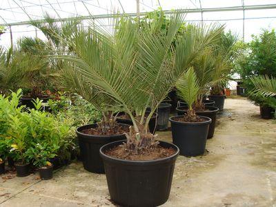 Les palmiers for Palmier d exterieur resistant au froid