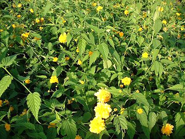 Les arbustes floraison printani re - Arbuste floraison printaniere jaune ...