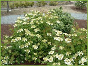 P pini res jean huchet accueil p pini re la for Arbuste d ornement feuillage persistant
