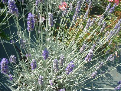 Lavande 'Richard Grey' - LAVANDULA 'Richard Grey' - Arbuste
