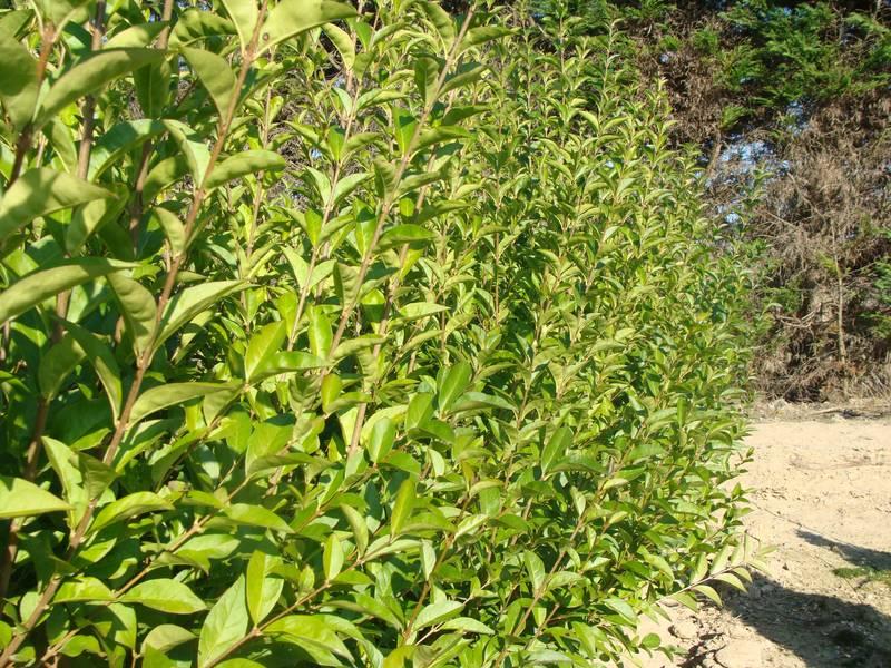 Ligustrum vulgaris 39 atrovirens 39 tro ne commun arbuste for Tarif taille de haie au noir
