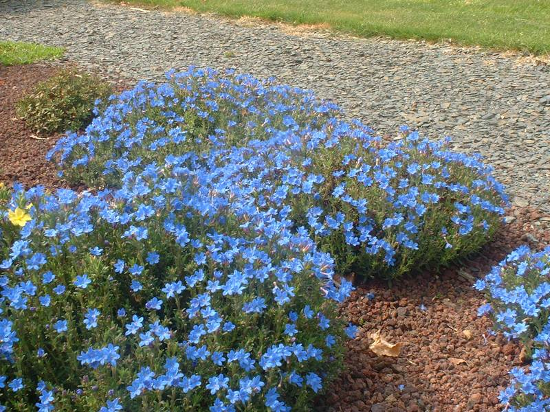 Lithodora diffusa heavenly blue gremil vivace for Vivace rampante