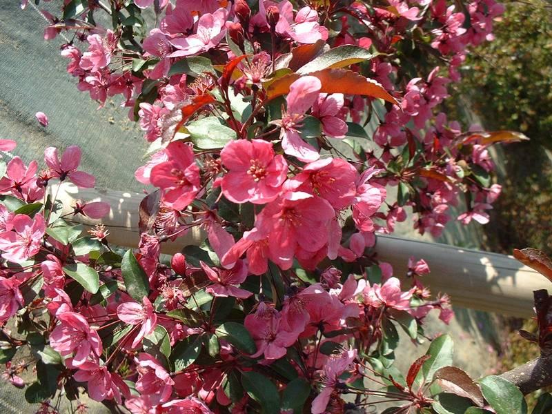 Malus prairie fire pommier d 39 ornement petit arbre - Petit arbre decoratif ...