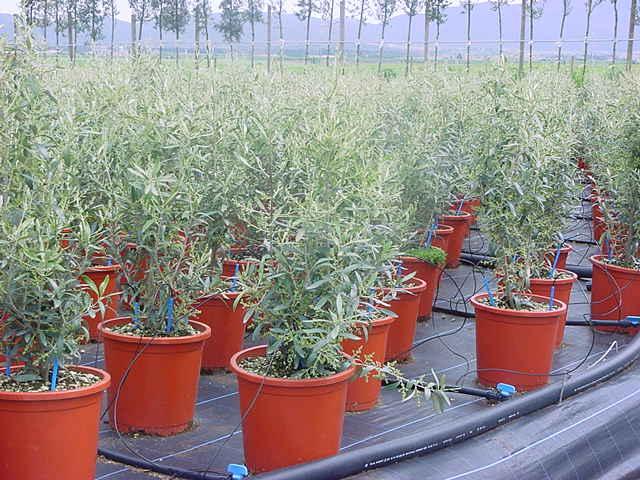 Olea europea 39 cipressino 39 olivier petit arbre - Olivier olea europaea prix ...