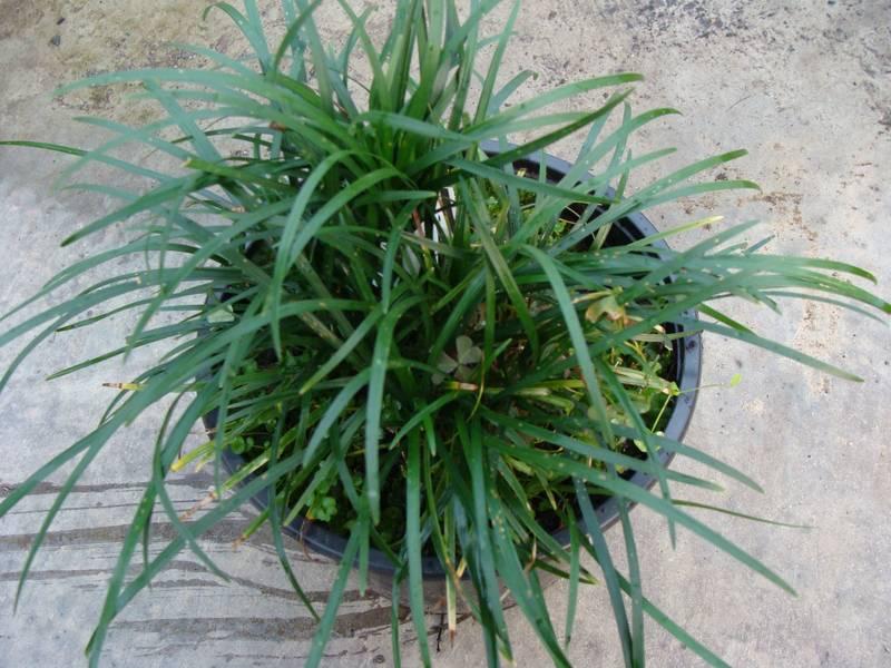 Achat de l 39 ophiopogon acheter au meilleur prix de vente for Achat plante verte en ligne