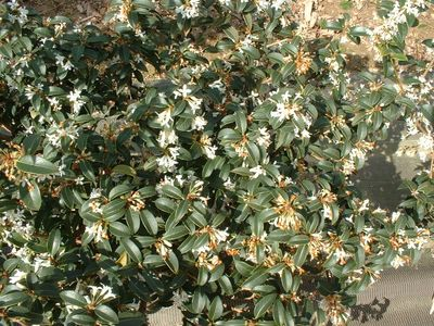 osmanthus burkwoodi lot de 15 plants osmanthe de burkwood arbuste. Black Bedroom Furniture Sets. Home Design Ideas