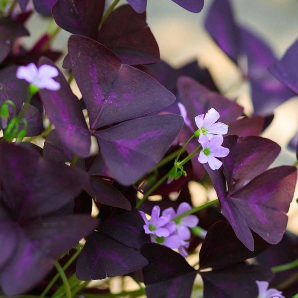 Oxalis - OXALIS triangularis - Bulbe