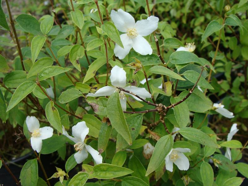 PHILADELPHUS 'Silver Shower'