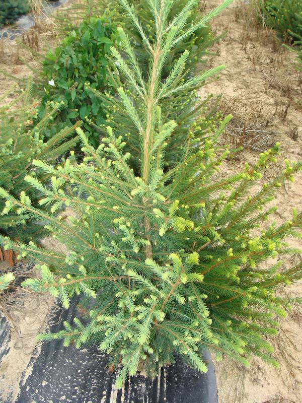 PICEA excelsa AT
