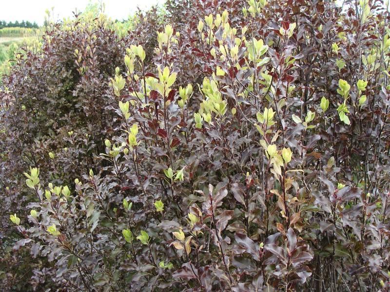 Arbuste pourpre awesome quelques arbustes feuillage duautomne remarquable with arbuste pourpre - Arbuste feuillage pourpre ...
