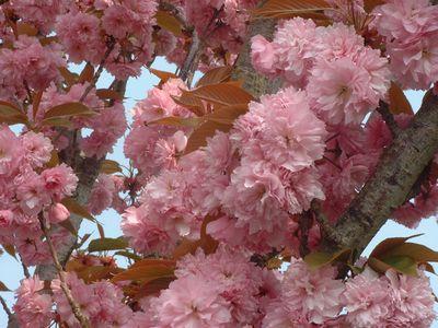 prunus serrulata 39 kanzan 39 cerisier fleur petit arbre. Black Bedroom Furniture Sets. Home Design Ideas