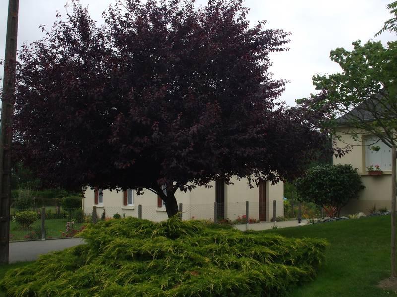 prunus cerasifera nigra cerisier fleurs pourpre prunus. Black Bedroom Furniture Sets. Home Design Ideas