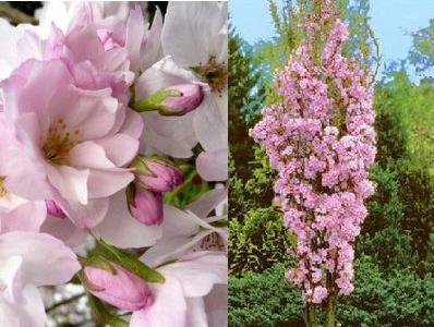 Prunus serrulata 39 amanogawa 39 cerisier fleur petit arbre - Petit arbre decoratif ...