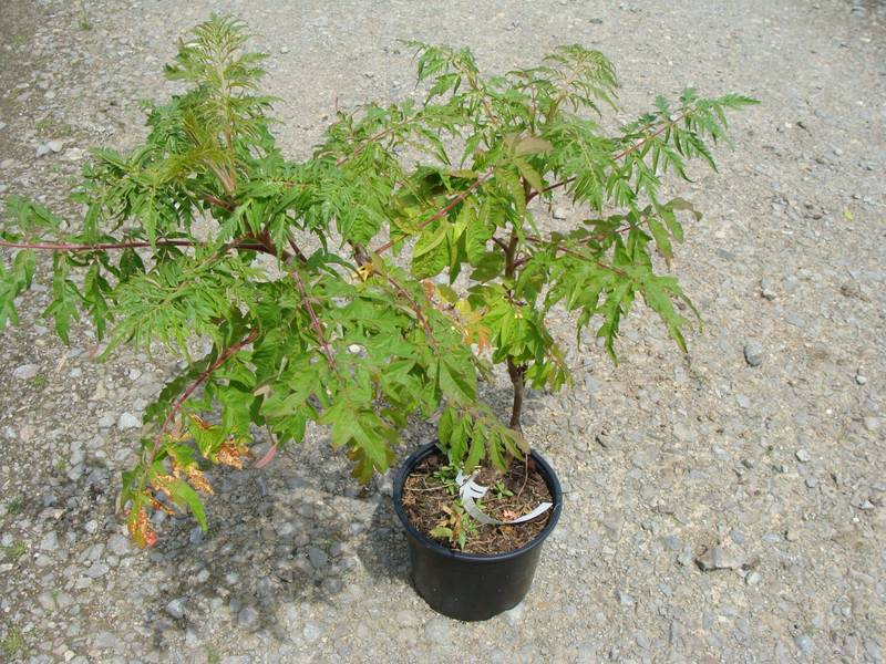 RHUS typhina 'Laciniata' AT