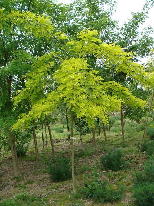ROBINIA pseudoacacia 'Frisia' Robinier, Faux acacia - Arbre