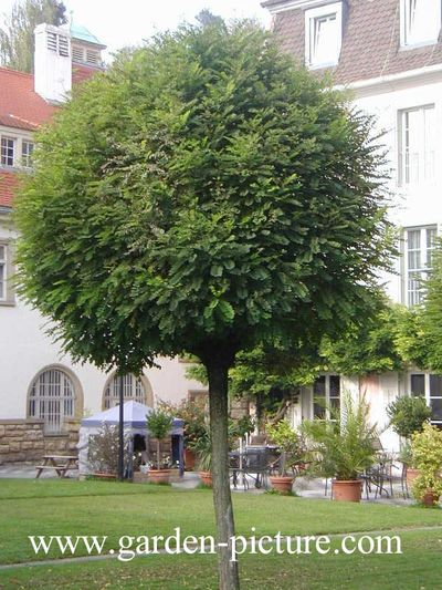 Les arbres de petit d veloppement - Arbre d ornement feuillage persistant ...