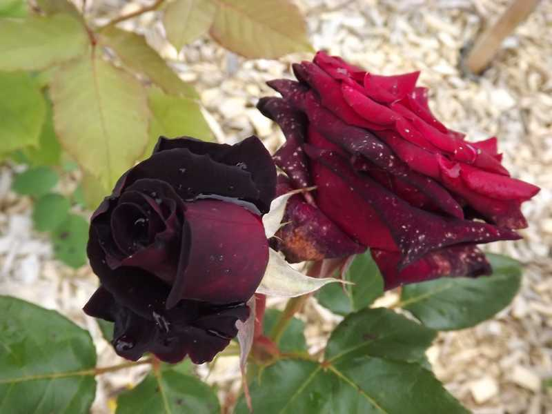 Rosier 'Black Baccara' at