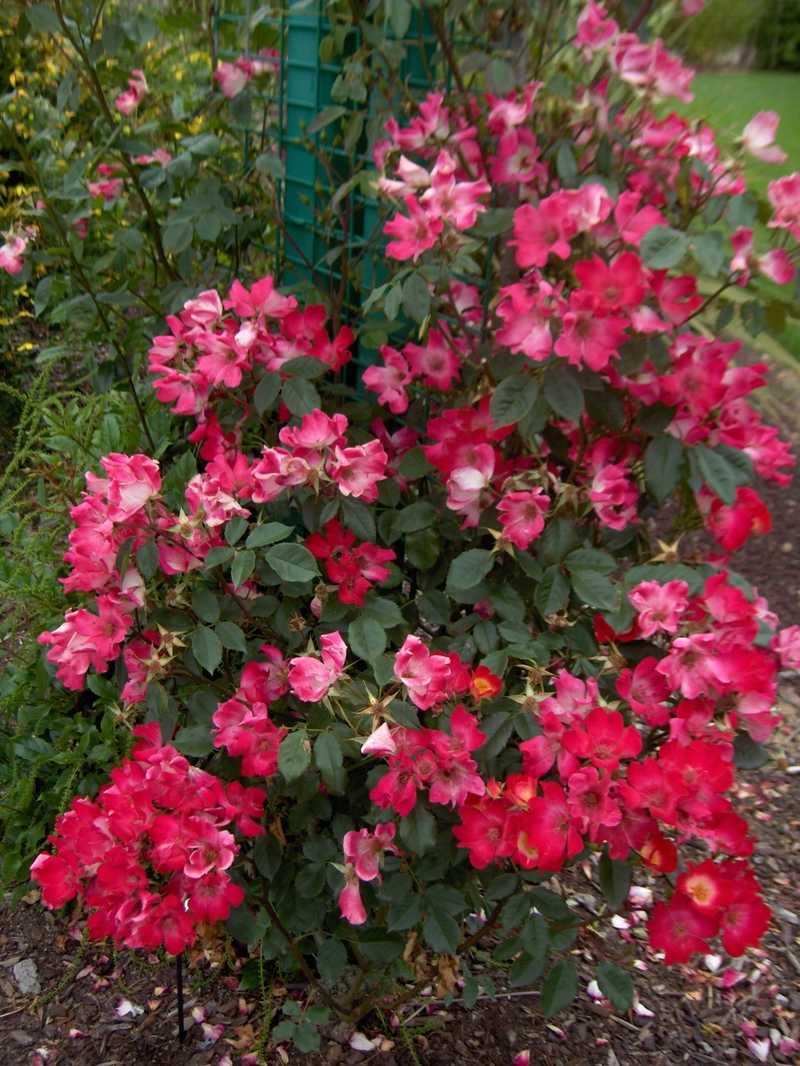 rosier grimpant petite fleur 'cocktail'® rosier grimpant petite
